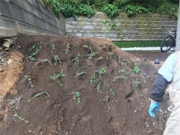 お庭づくり1(ビンカミノール)